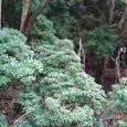 あせびの木
