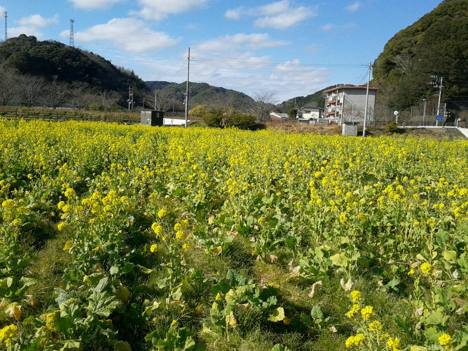 南伊豆の菜の花畑